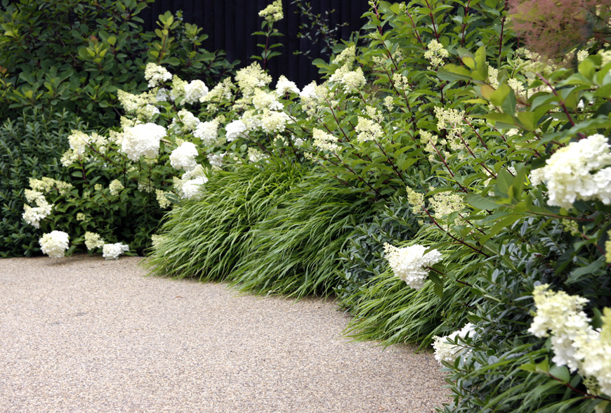 a greenube favourite hydrangea paniculata, planted within hakonechloa, surrounding the resin bound gravel driveway, sevenoaks, kent, greencube garden design