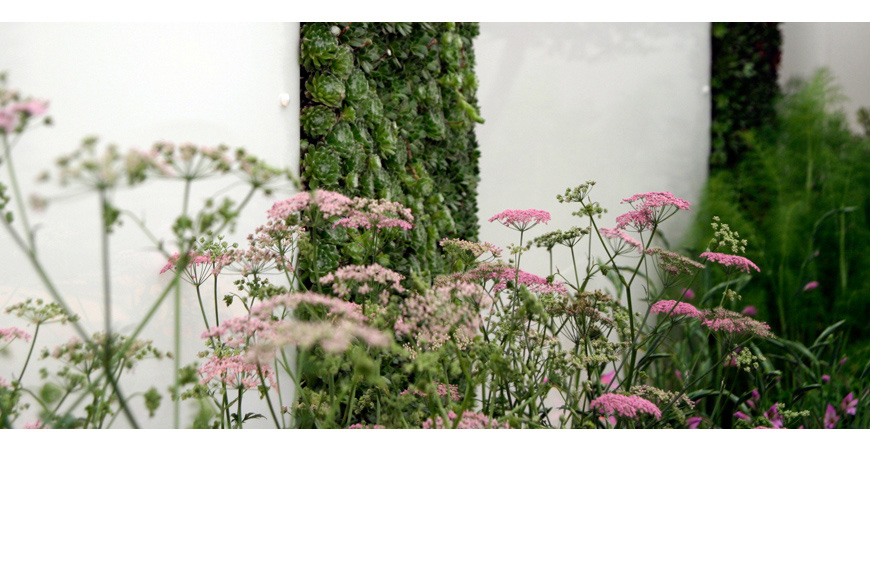 Pimpernella rosea softens the hard landscaping in our chelsea gold medal winning small garden